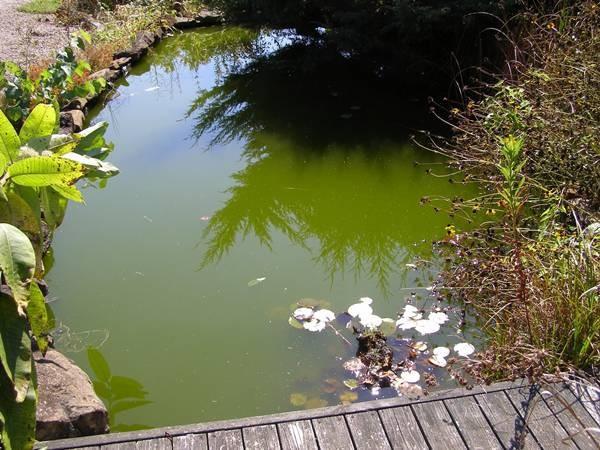 Zelená voda v zahradním jezírku.