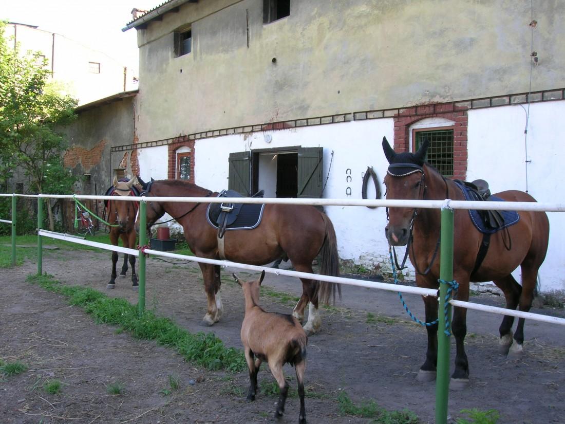 koza-natasa-asistuje-pri-sedlani